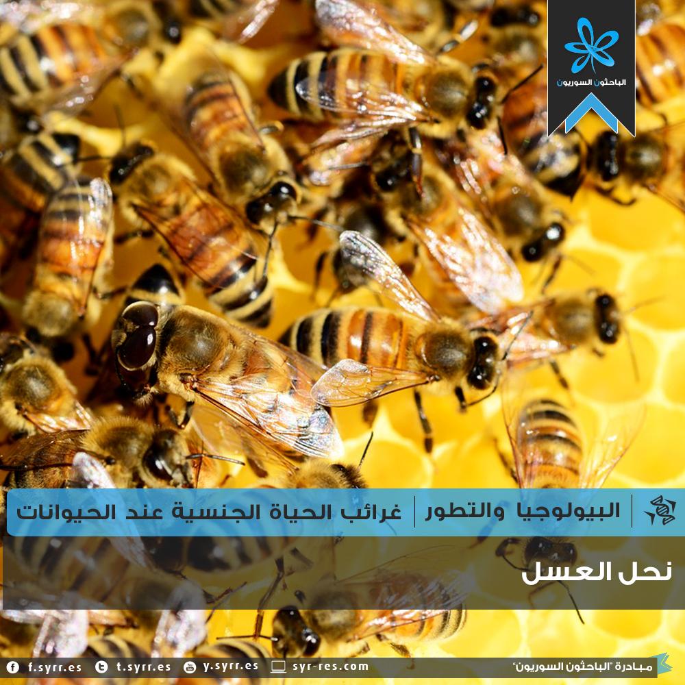 سلسلة غرائب الحياة الجنسية عند الحيوانات | نحل العسل