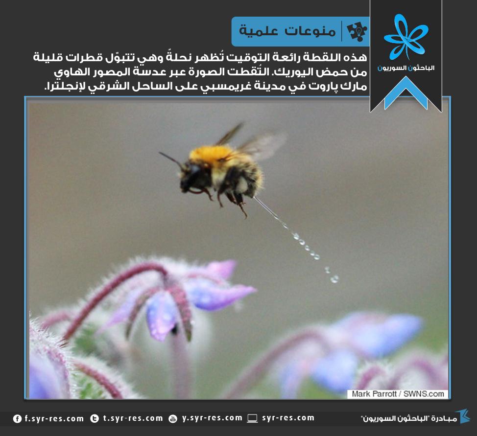 أين يتبول النحل أو يخرج فضلاته  1443914524