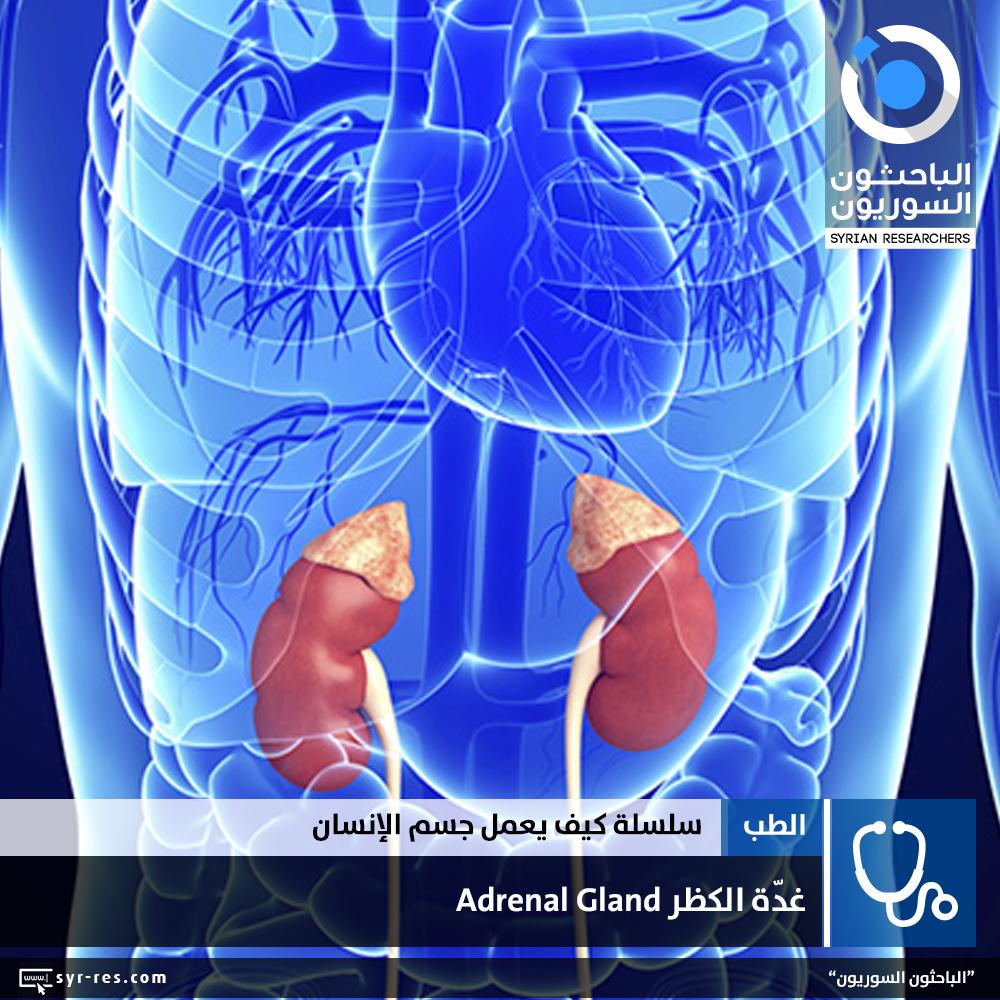 89926b72e7a3b الباحثون السوريون - سلسلة كيف يعمل جسم الانسان؟ - الغدد  غدّة الكظر ...