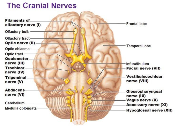 6f7927e86997b Image  http   antranik.org peripheral-nervous-system