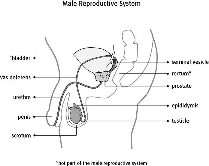 على عكسِ الجهازِ التناسليِّ الأنثوي، فإنّ أغلبيّةَ أجزاءِ جهاز التكاثرِ  الذكريّ تقع خارجَ الجسم، وهذه الأعضاء هي: القضيب الذكريّ، الخصيتان، وكيس  الصفن ...