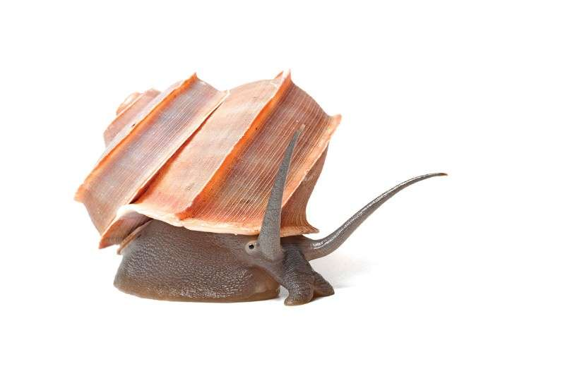 قواقع حلزون مكسوَّة بالطحالب